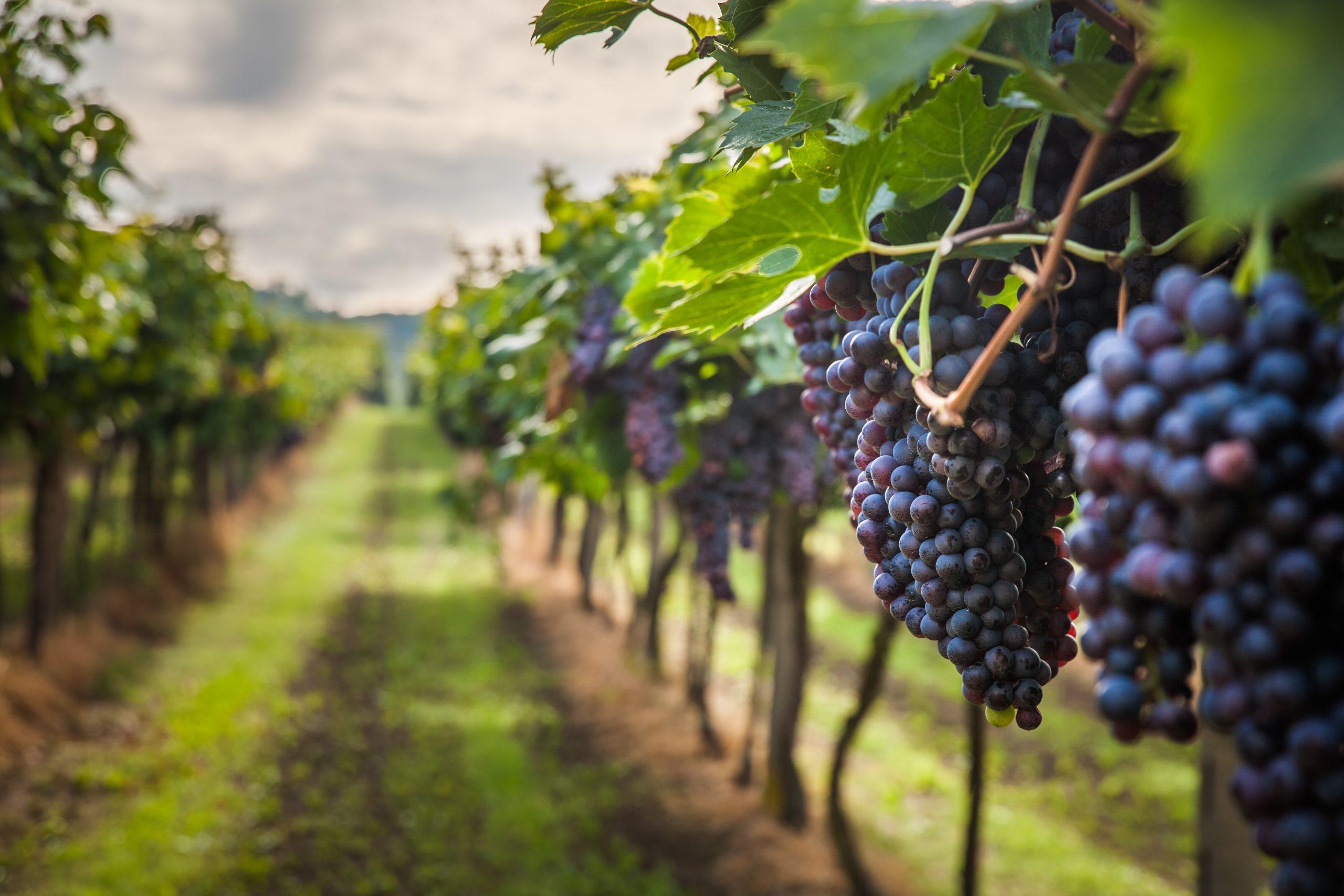Utilizarán tecnología blockchain en un viñedo de España para seguir la trazabilidad de la uva